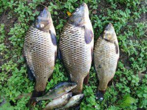 Poisson, Pêche, Carpe, Capture, Lac, Été